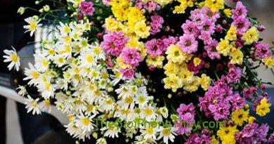 Mộng thấy hoa cúc ngũ sắc nên đánh con số đề nào