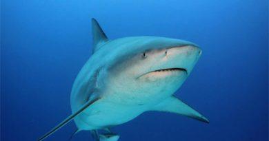 Mơ thấy cá mập