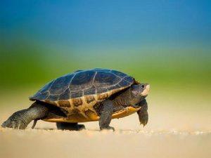 Mơ thấy rùa điềm gì?