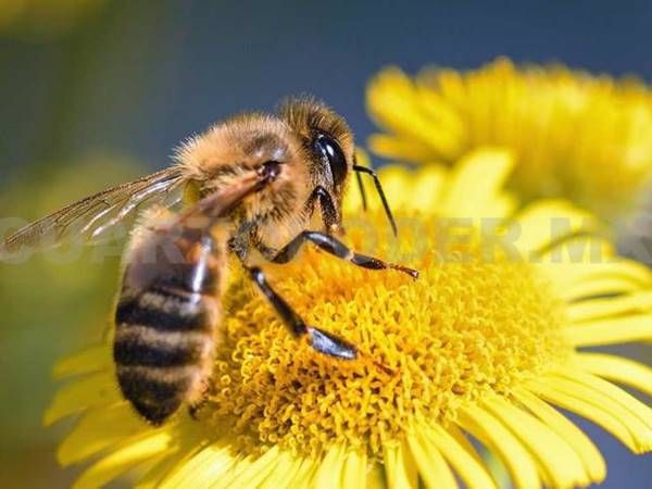 Mơ thấy ong là điềm gì, đánh số mấy?